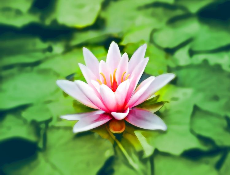 waterlily-pink-water-lily-water-plant-158465-does